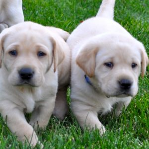 color photo of two cute puppies walking side by side through the grass