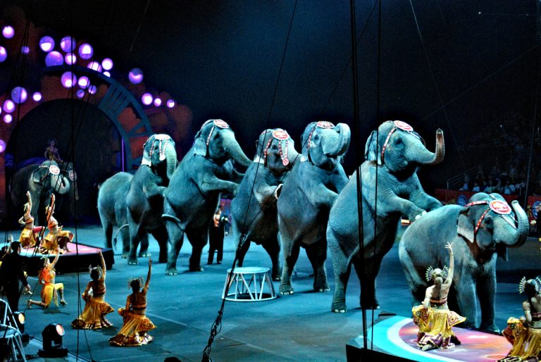 Dramatically lit color photo of a line of performing circus elephants standing on their hind legs with with their front feet on the back of the elephant ahead of them