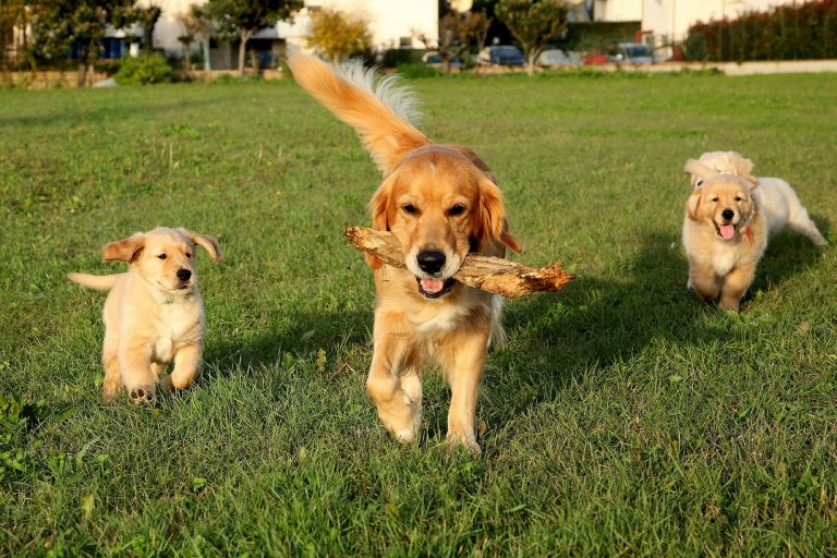 color photo of an adorable golden retriever trotting across a grass sward carrying a large stick in her mouth, flanked by her three adorable golden retriever puppies