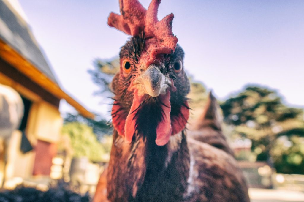 Photo of a red hen looking into the camera.