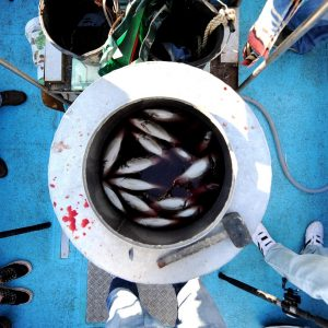 Fish swimming in a barrel on what appears to be the deck of a smallish vessel, photographed from directly overhead